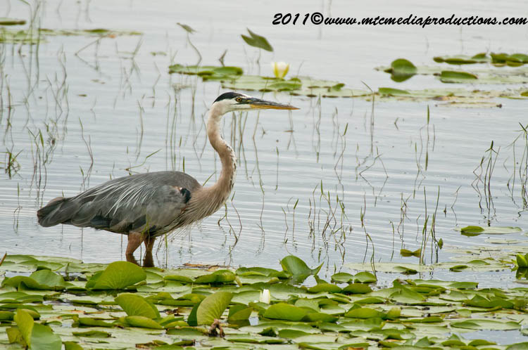 Blue Heron Picture-849