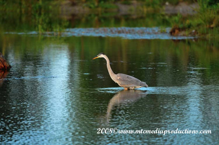 Blue Heron Picture-85
