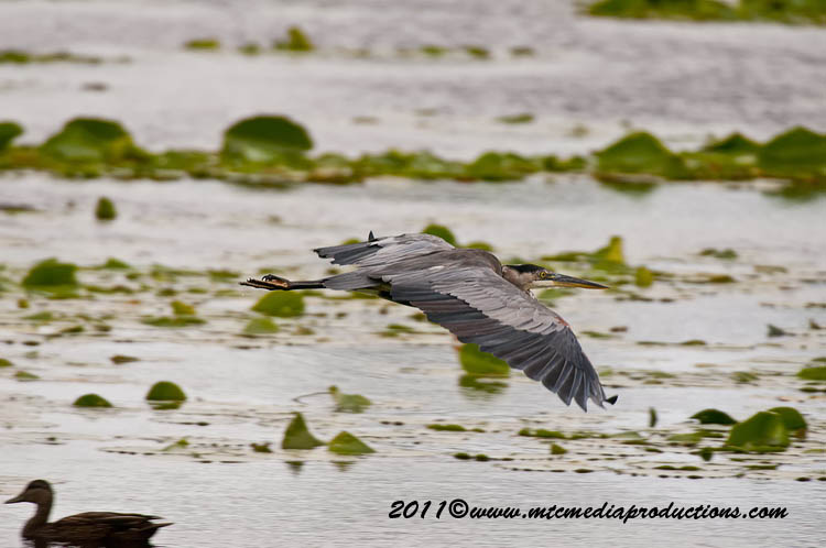 Blue Heron Picture-850