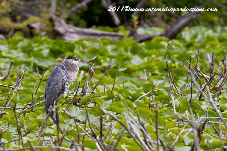 Blue Heron Picture-851