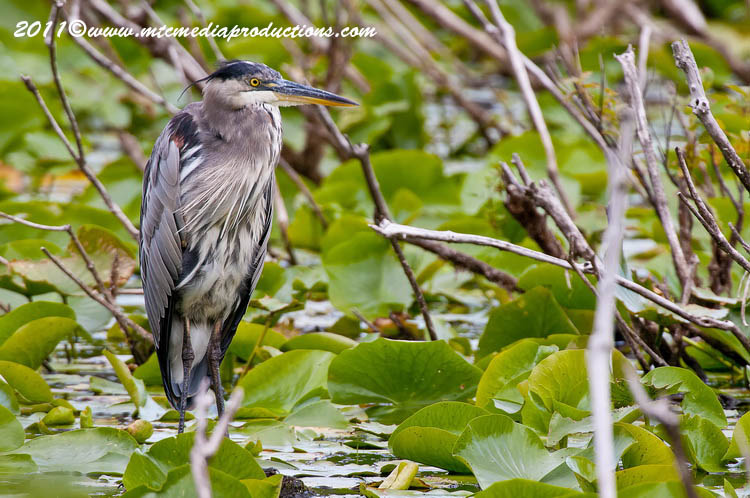 Blue Heron Picture-852