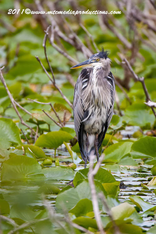 Blue Heron Picture-853