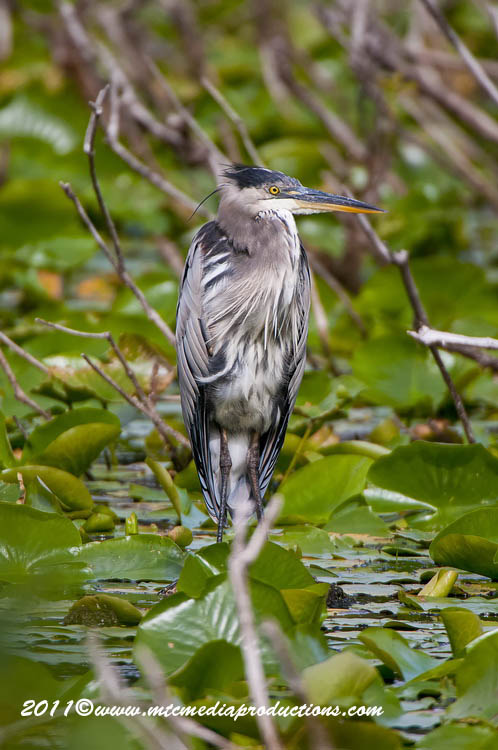Blue Heron Picture-855