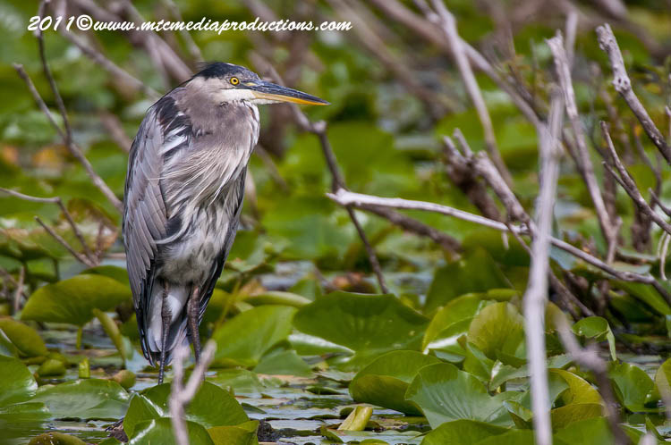 Blue Heron Picture-856