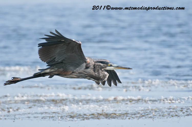 Blue Heron Picture-857