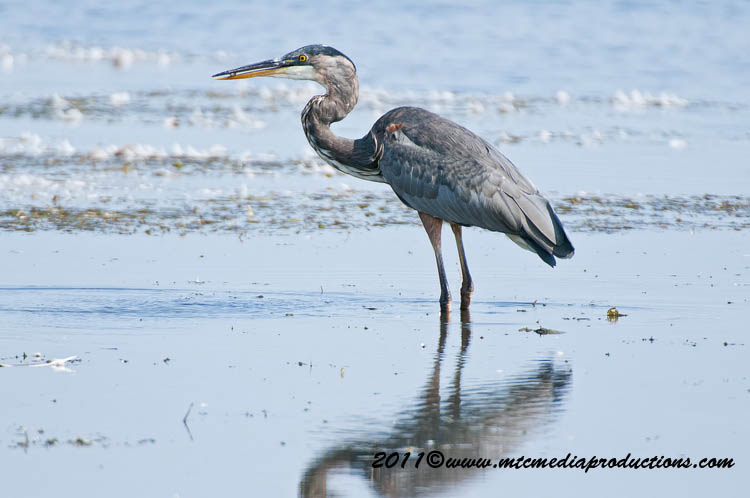 Blue Heron Picture-858