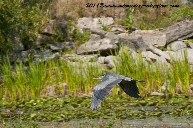 Blue Heron Picture-860
