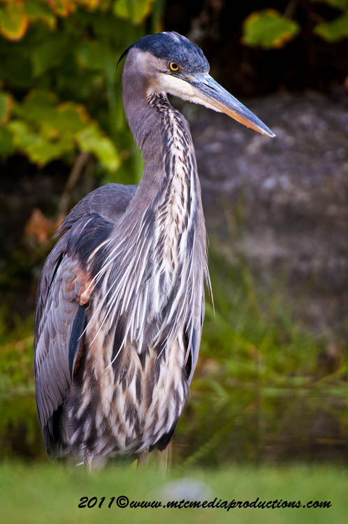 Blue Heron Picture-861