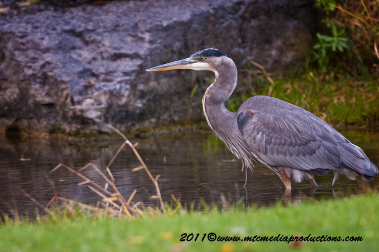 Blue Heron Picture-862