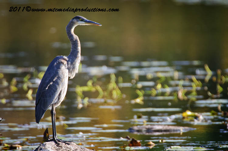 Blue Heron Picture-863