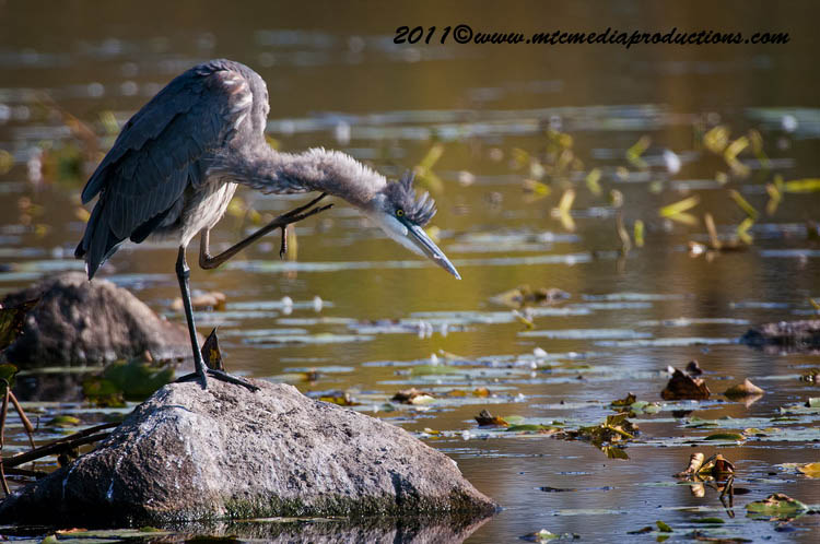 Blue Heron Picture-864