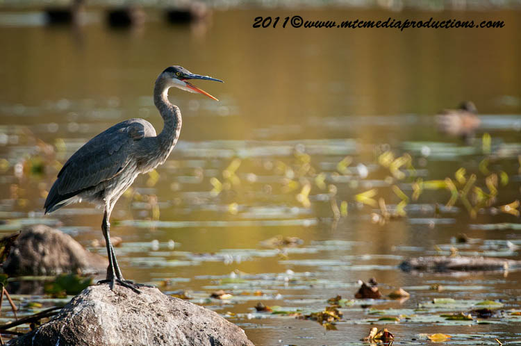 Blue Heron Picture-865