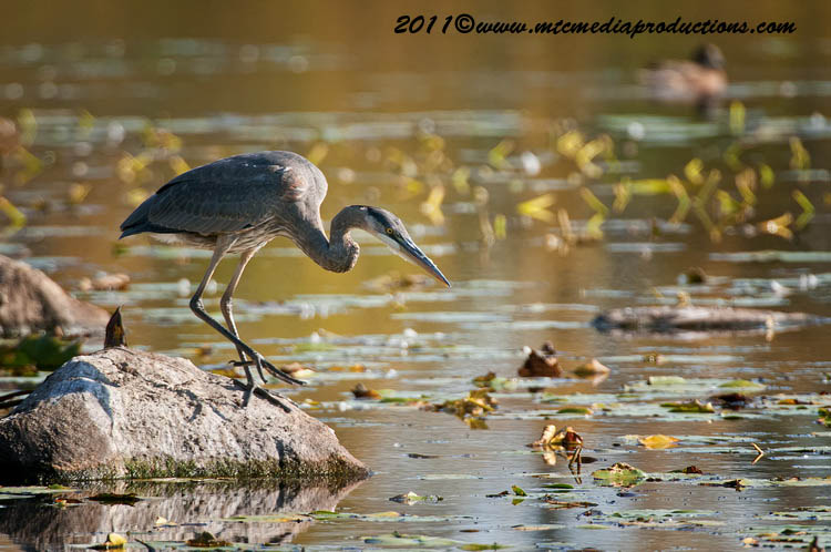Blue Heron Picture-866