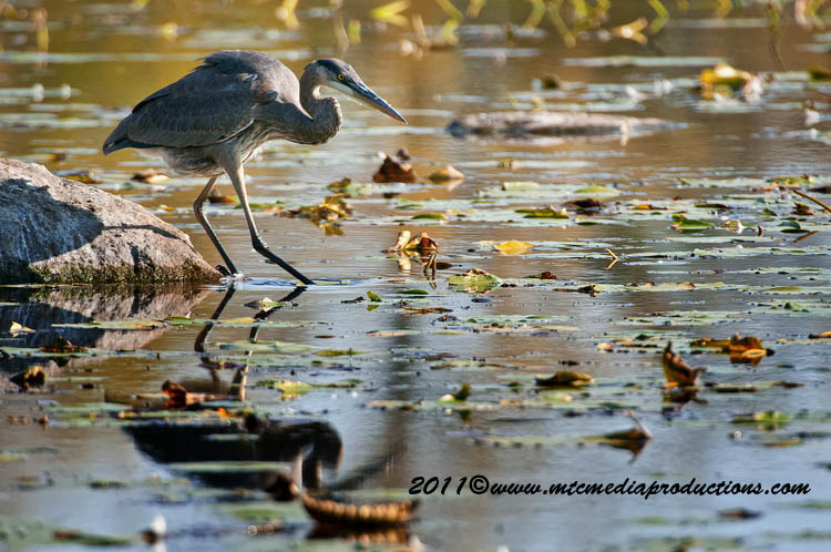 Blue Heron Picture-867
