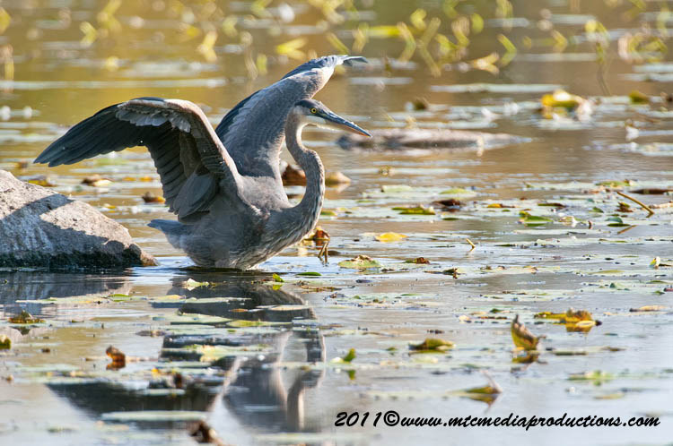 Blue Heron Picture-868