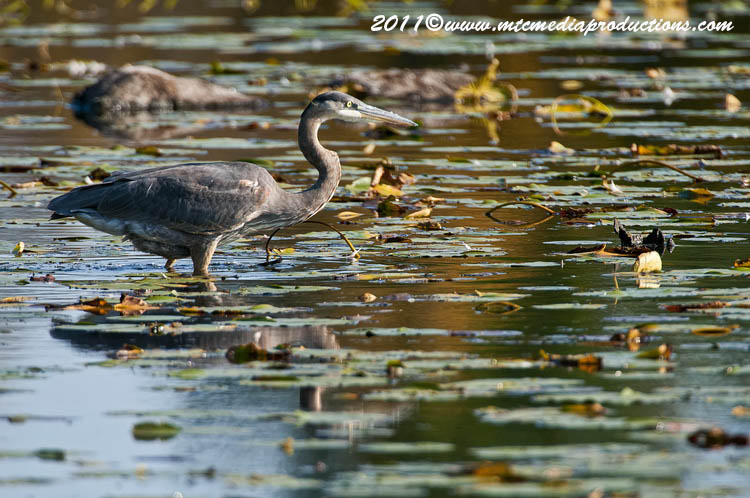 Blue Heron Picture-869