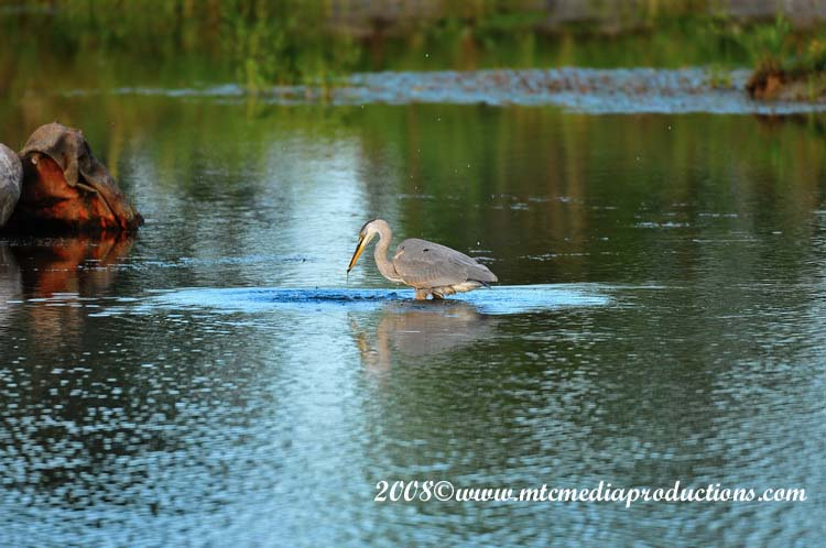 Blue Heron Picture-87