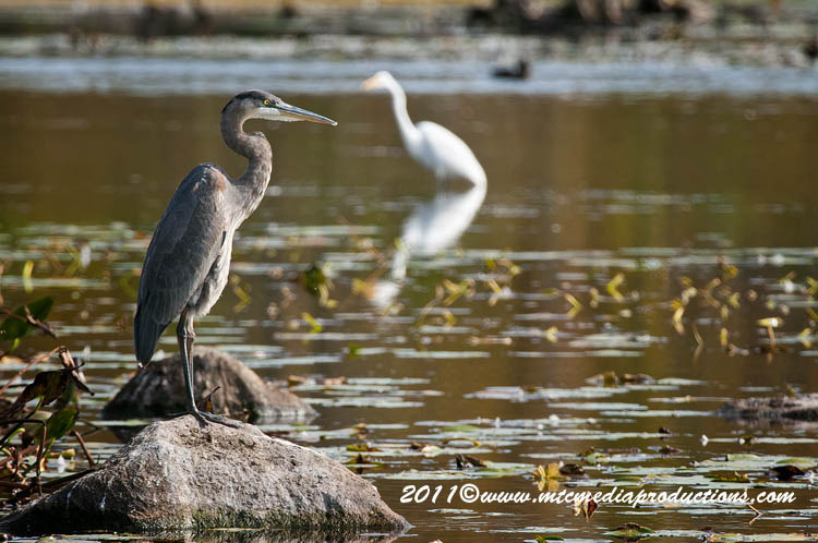 Blue Heron Picture-870
