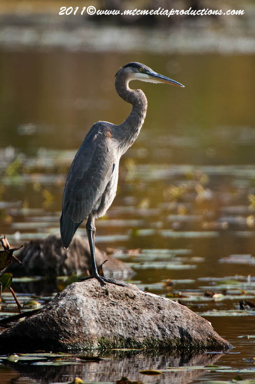 Blue Heron Picture-871