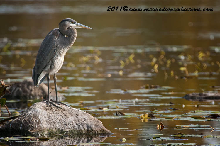 Blue Heron Picture-872
