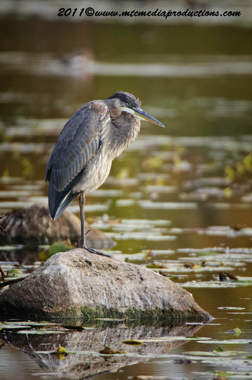 Blue Heron Picture-873