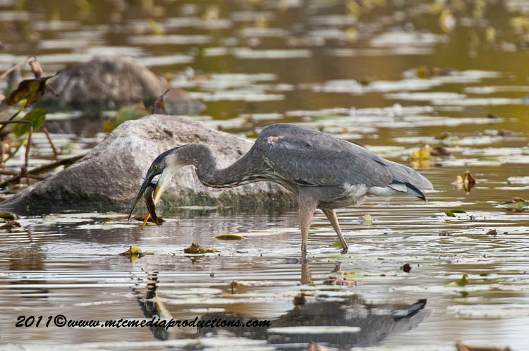 Blue Heron Picture-875