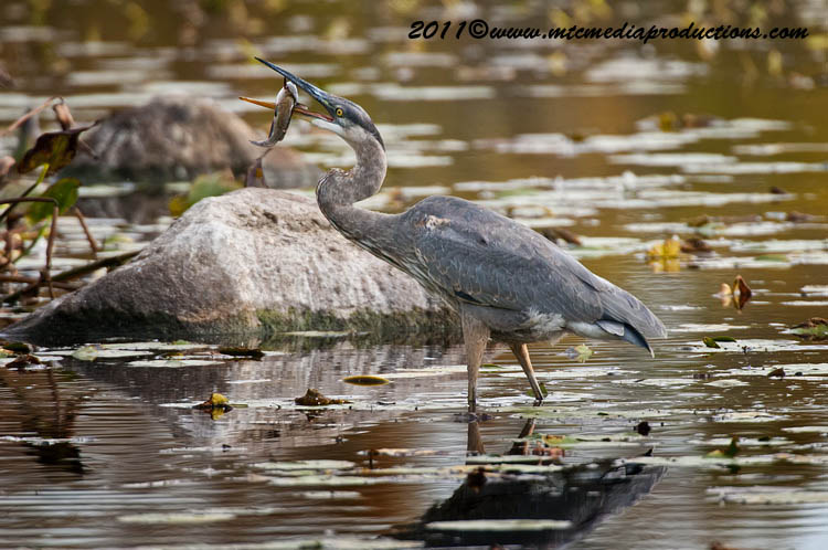 Blue Heron Picture-876