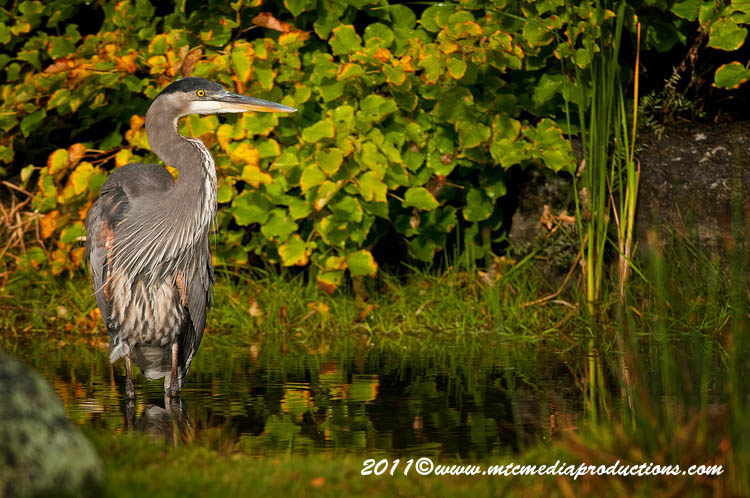 Blue Heron Picture-879