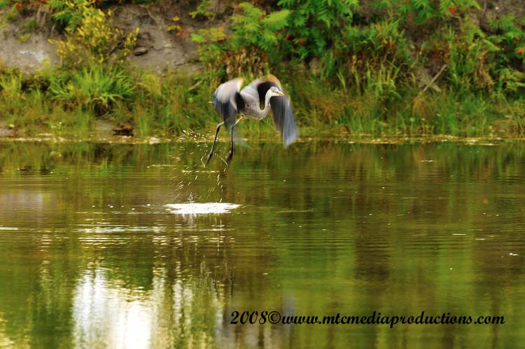 Blue Heron Picture-88
