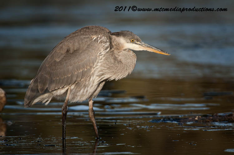 Blue Heron Picture-880