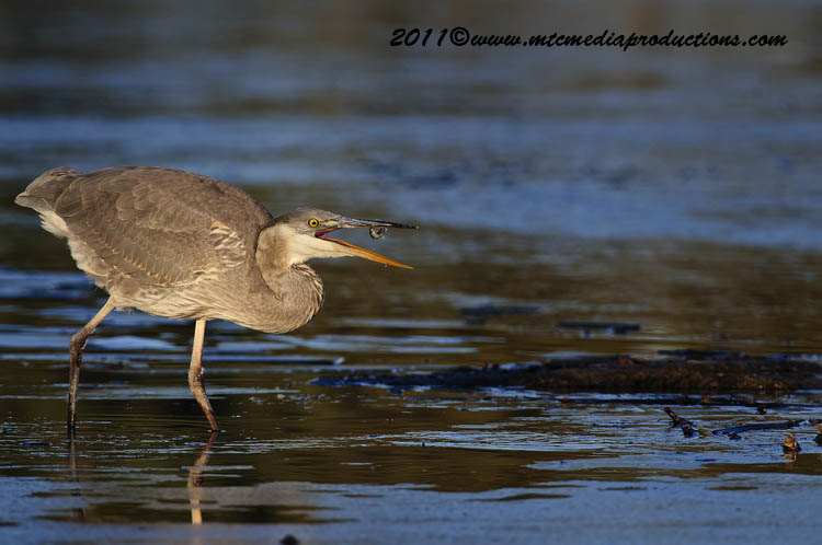 Blue Heron Picture-885