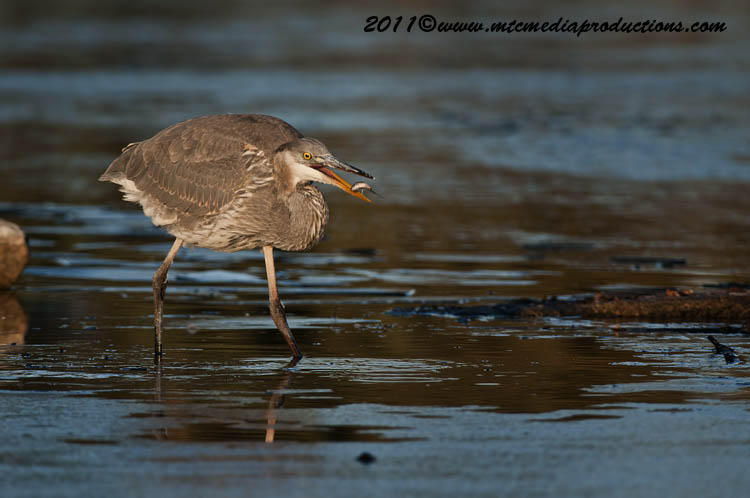 Blue Heron Picture-886