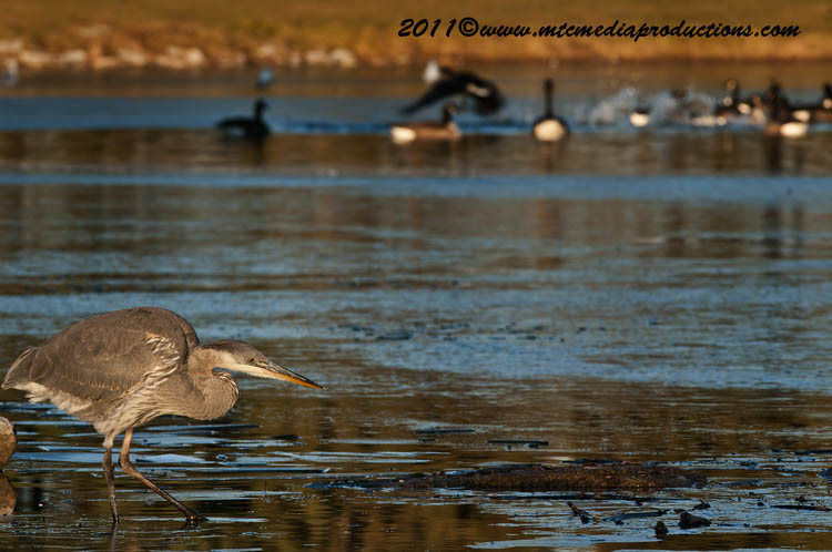 Blue Heron Picture-888