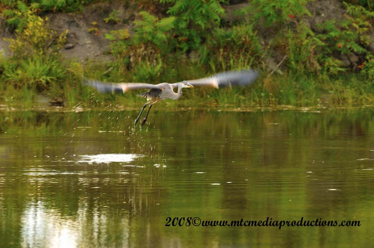 Blue Heron Picture-89