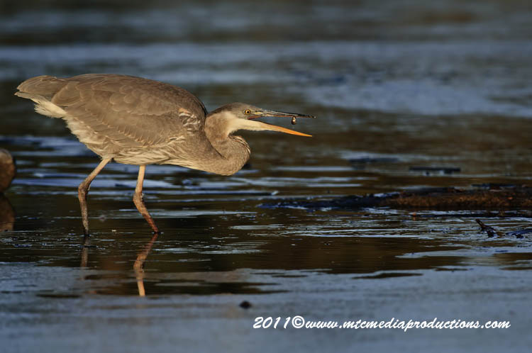 Blue Heron Picture-890