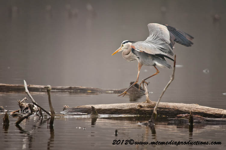 Blue Heron Picture-891