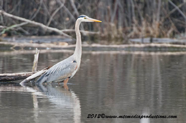 Blue Heron Picture-892