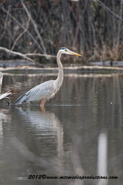 Blue Heron Picture-893