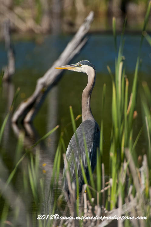 Blue Heron Picture-894