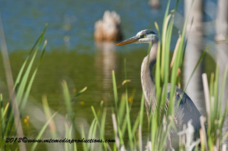 Blue Heron Picture-895