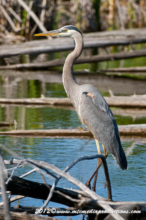Blue Heron Picture-896