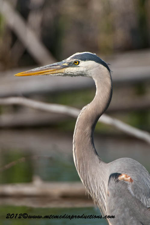 Blue Heron Picture-897