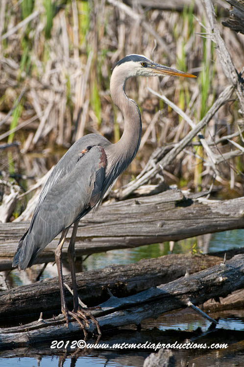 Blue Heron Picture-898