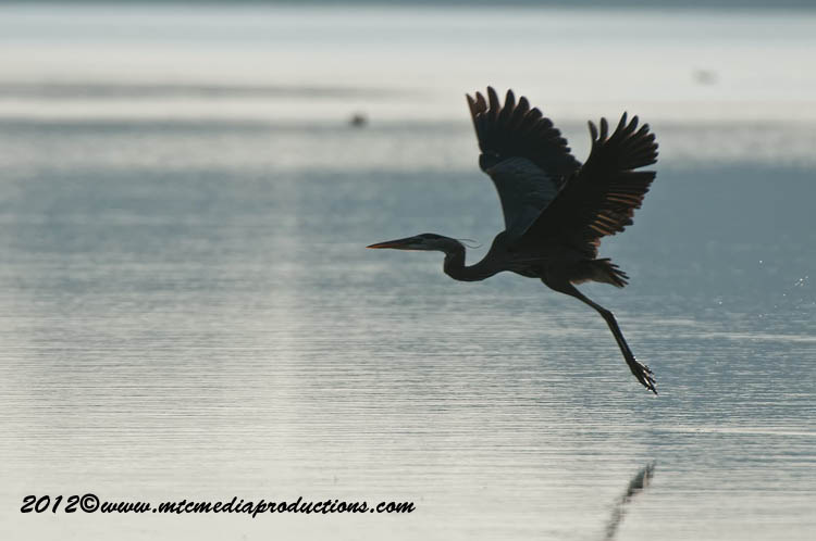 Blue Heron Picture-899