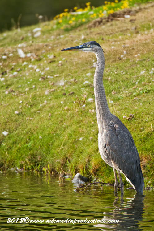 Blue Heron Picture-900