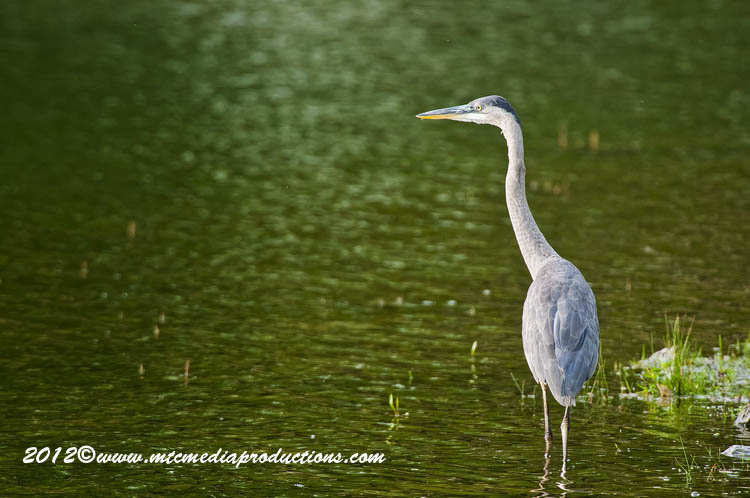 Blue Heron Picture-901