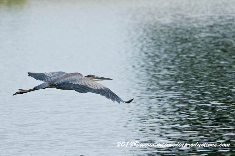 Blue Heron Picture-902