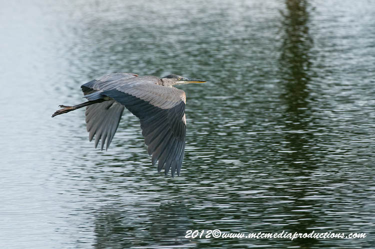 Blue Heron Picture-903