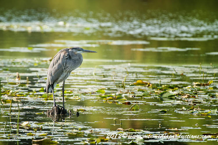 Blue Heron Picture-904