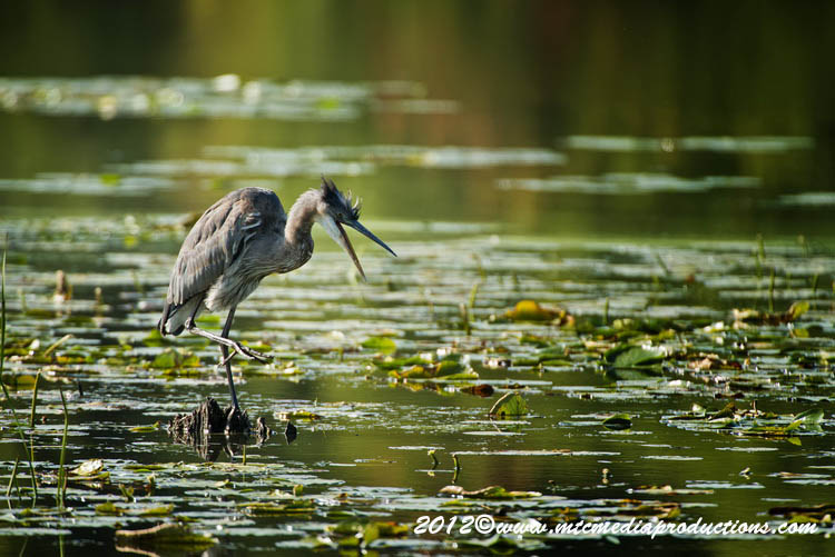 Blue Heron Picture-905